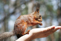 Squirrel on the palm Royalty Free Stock Photo