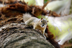 Squirrel. On the palm upside down Royalty Free Stock Image
