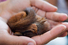 Squirrel on palms. Young squirrel sleeping on hand Stock Photography