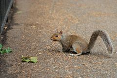 Squirrel in the Park белка в парке Royalty Free Stock Photos
