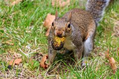 Squirrel in the Park белка в парке Stock Photos