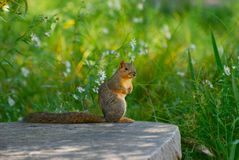 Squirrel at the park Royalty Free Stock Photos