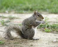 A squirrel in the park Royalty Free Stock Photos