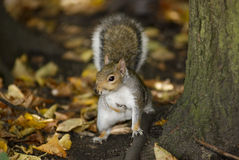 Squirrel in a park Royalty Free Stock Photography