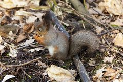 Squirrel in the Park. Beautiful squirrel in a Park in Moscow in Russia stock image