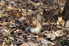 Squirrel in the Park. Beautiful squirrel in a Park in Moscow in Russia royalty free stock images