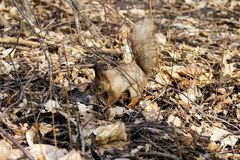 Squirrel in the Park. Beautiful squirrel in a Park in Moscow in Russia stock photos