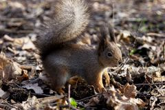 Squirrel in the Park. Beautiful squirrel in a Park in Moscow in Russia royalty free stock photography