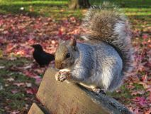 Squirrel on park bench with Crow in background in Autumn stock photo
