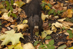Squirrel in park in automn Stock Photography