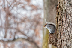 Squirrel in the park. Cold Winter Day Stock Photos