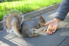 Squirrel in the park. Curious squirrel with nut in Central Park, New York City stock photo