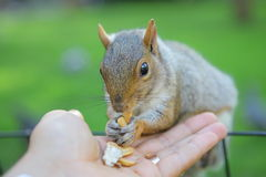 Squirrel in the park. Curious squirrel with nut in Central Park, New York City Royalty Free Stock Image