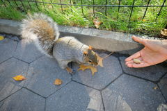 Squirrel in the park. Curious squirrel with nut in Central Park, New York City royalty free stock photo