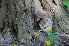 Squirrel in the park. Curious squirrel with nut in Central Park, New York City royalty free stock images