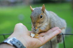 Squirrel in the park. Curious squirrel with nut in Central Park, New York City Royalty Free Stock Photography