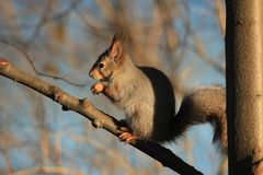 Squirrel in the park Royalty Free Stock Photography