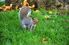Squirrel in the park eat the roasted peanuts Stock Photography