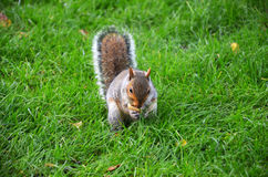 Squirrel in the park eat the roasted peanuts Royalty Free Stock Photo