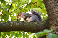 Squirrel in the park eat the roasted peanuts Stock Image