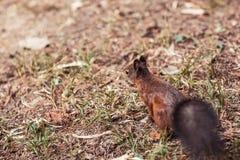 Squirrel in park Stock Image