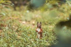 Squirrel in park Stock Photos