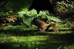 Squirrel in the park Royalty Free Stock Photo