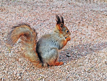 Squirrel in the park Stock Image