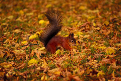 Squirrel in the park. The place of interest of any park is proteins. They are absolutely manual, curious and friendly Royalty Free Stock Photos