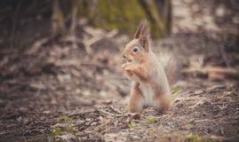 Squirrel in the park. Red squirrel. Squirrel eats on the grass. Royalty Free Stock Photo