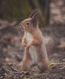 Squirrel in the park. Red squirrel. Squirrel eats on the grass. Squirrel in the park. Red squirrel. Squirrel eats on the grass Stock Images