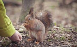 Squirrel in the park. Red squirrel. Squirrel eats on the grass. Squirrel in the park. Red squirrel. Squirrel eats on the grass Royalty Free Stock Photo