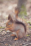 Squirrel in the park. Red squirrel. Squirrel eats on the grass. Squirrel in the park. Red squirrel. Squirrel eats on the grass Royalty Free Stock Images