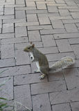 Squirrel in the Park from Savannah in Georgia USA Stock Images
