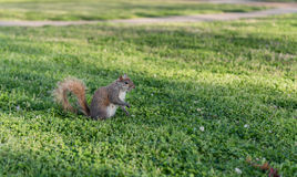Squirrel in the park. Sitting on the grass and eating peace of food Royalty Free Stock Photos