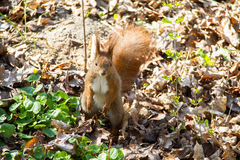 Squirrel. In the park in the spring Royalty Free Stock Images