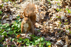 Squirrel. In the park in the spring Royalty Free Stock Photo