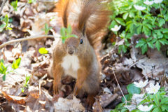 Squirrel. In the park in the spring Stock Photography