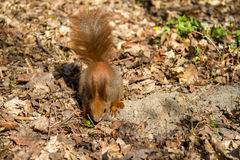 Squirrel. In the park in the spring Stock Image