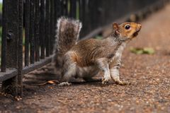 Squirrel in the Park белка в парке Stock Photography