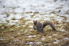 Squirrel in the Park stock photography