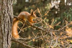 Squirrel in park. Squirrel on the tree in the autumn park royalty free stock images