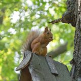 Squirrel in the park on the tree. Eating food, against the background of the trunk of oak and leaves, with a blurry background Royalty Free Stock Images