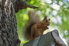 Squirrel in the park on the tree. Eating food, against the background of the trunk of oak and leaves, with a blurry background Stock Photos