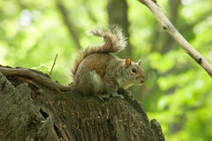 Squirrel in the park with tree. In spring Royalty Free Stock Photos