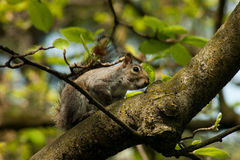 Squirrel in the park with tree. In spring Royalty Free Stock Images