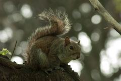 Squirrel in the park with tree. In spring Royalty Free Stock Photo