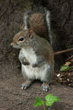Squirrel in the park with tree. In spring Stock Image