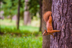 Squirrel; park; tree. Squirrel in the park; squirrel on a tree; squirrel upside down Royalty Free Stock Photo