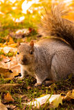Squirrel in park waiting for nuts closeup Royalty Free Stock Image